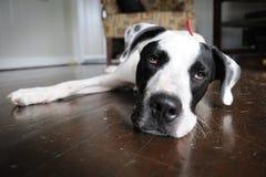 Lazy Dog Stock Images