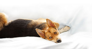 Dog sleeping on sofa royalty free stock photo