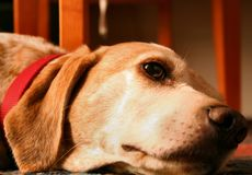 Lazy dog. Portrait of a cute dog lying on the floor, meditative glance and sweet eyes Stock Images