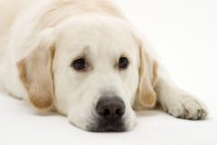 Lazy dog. What a lazy retriever stock photos