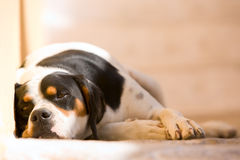 Lazy dog Stock Photos