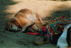 lazy dog Stock Image