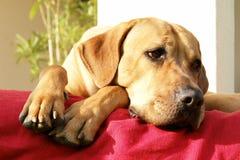 Lazy Dog Stock Photos