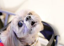Lazy dog in baby cart. Looking camera royalty free stock images