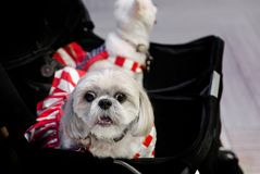 Lazy dog in baby cart. Lovely lazy dog in baby cart like baby royalty free stock image