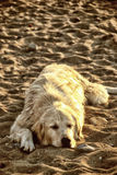 Lazy dog on the beach. In summer Stock Photo