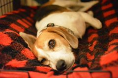 Lazy Dog. A beagle taking it easy in her bed Stock Image