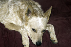 Lazy Dog Day. A red heeler bored and ready to run Royalty Free Stock Images