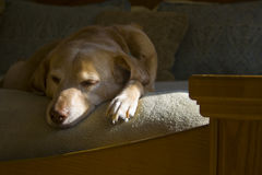 Lazy Dog Days. Sleeping dog hangs over the end of a bed while catching the last bit of a sun ray on her nose and paw stock photography
