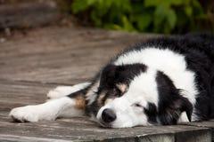 Lazy dog days of summer. A tri-coloured australian shepherd dog sleeps on the dock Stock Image
