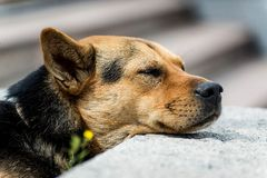 Lazy dog. Do not disturb, it is its rest time Stock Images