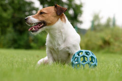 Lazy dog does't want to play with ball. Jack Russell Terrier sitting on green grass Royalty Free Stock Image