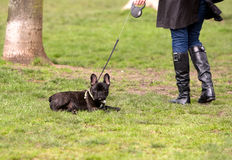Lazy Dog - French Bulldog Stock Image