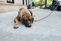 Lazy stubborn English Mastiff pet lies down on New York City side walk and the dog won`t get up to do his daily walk city yellow c stock image