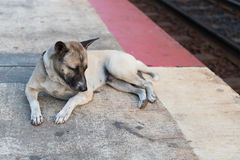 Lazy dog nearby the railway. A lazy dog lay down on the railway platform at Hua Hin, Thailand Royalty Free Stock Images