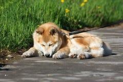 Lazy dog on the sidewalk Royalty Free Stock Photography