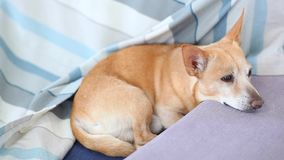 Lazy Dog Sleep on bed. Pet concept. Tired Chihuahua dog, lying on sofa at home. Dog waiting for owner home. Resting red Dog on cou