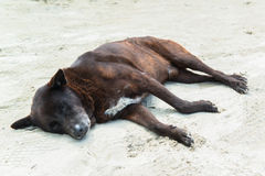 Lazy dog sleep on sand beach Stock Photo