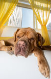Lazy dog sleeping. A lazy Dogue de Bordeaux dog sleeps in an apartment royalty free stock photography