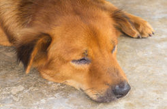 Lazy dog sleeping Stock Photography