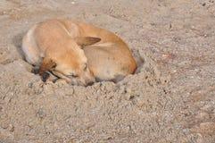 Lazy dog and sleeping on sand beach Stock Photos