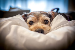 Lazy dog Snuggled in Owners Bed. Unwilling to rise Royalty Free Stock Photos