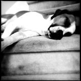 Lazy dog on a sofa Royalty Free Stock Photos