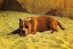 A lazy dog in Thailand royalty free stock photo