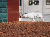 Lazy dog. A white lazy dog sleep in backyard Royalty Free Stock Image