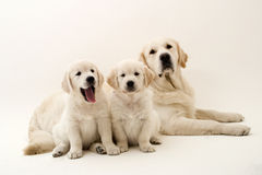 Lazy dogs Stock Images