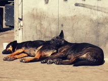 Lazy dogs lying in the sun. Best friends lazy dogs lying in the sun together on a street in Palermo stock photo