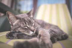 Lazy domestic gray cat lying on one side and napping twisted. Shot outdoors with very shallow depth of field, focused on the eyes. Toned image Royalty Free Stock Photo