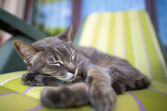 Lazy domestic gray cat lying on one side and napping twisted. Shot outdoors with very shallow depth of field, focused on the eyes. Lazy domestic gray cat lying Royalty Free Stock Photo