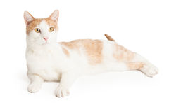 Lazy Domestic Shorthair Mixed Breed Cat Royalty Free Stock Image