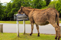 Lazy donkey, New Forest, UK. Donkey using a road sign as a head rest in the New Forest, UK Stock Photography