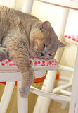 Lazy dreamy cat. Photo of a lazy dreamy pedigree british shorthair cat sleeping on a cottage chair with her paw hanging down Stock Image