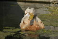 Lazy duck Royalty Free Stock Image