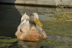 Lazy duck Stock Photos