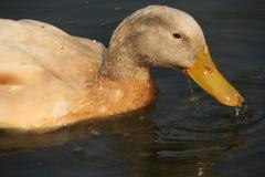 Lazy duck Royalty Free Stock Photos