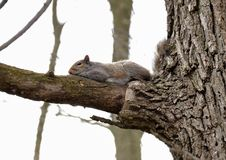 Lazy Eastern gray squirrel Royalty Free Stock Images