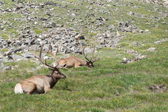 Lazy Elk Royalty Free Stock Photos