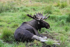 Lazy Elk. An elk laying down in the grass Stock Photography