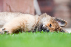 Lazy Elo puppy lies on the grass. Lazy Elo (German dog breed) puppy lies on the grass Royalty Free Stock Image