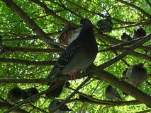 Lazy family of pigeons on the tree stock photo