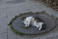 Lazy and fat cat laying Royalty Free Stock Photo
