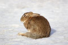 Lazy fat rabbit Stock Image