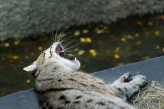 Lazy fishing cat yawning. Royalty Free Stock Images