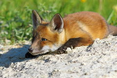Lazy fox Stock Photo