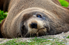 Lazy fur seal on the beach, New Zealand Royalty Free Stock Images