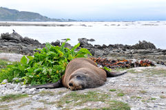 Lazy fur seal on the beach, New Zealand Royalty Free Stock Image